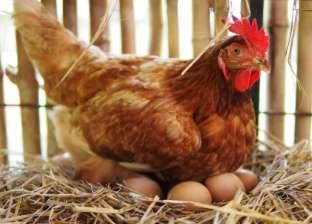 «البيضة الأول ولا الفرخة؟».. سؤال حير الملايين: العلماء يجيبون أخيرًا