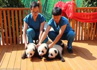 """بالصور  مركز صيني يطلب من الجمهور تسمية 3 مواليد """"باندا"""""""