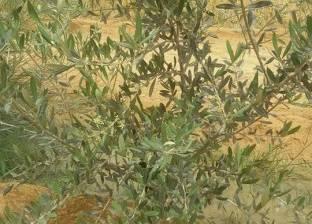 بالصور| سلالات جديدة من أشجار الزيتون تلائم ملوحة مياه رأس سدر