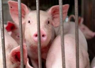 """اكتشاف سلالة جديدة من """"إنفلونزا الخنازير"""" بالصين: مزيج من 3 فيروسات"""