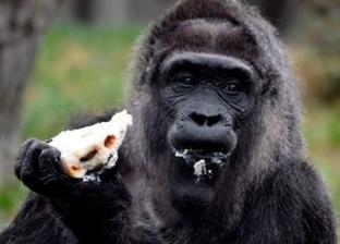 غوريلا تتناول 360 ألف جنيه مصري في حديقة حيوان نيجيرية