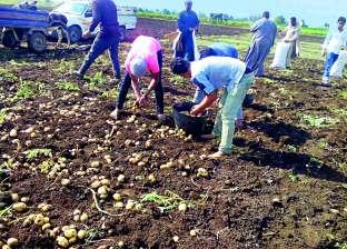 نقيب الفلاحين يكشف: 5 تجار كبار وراء أزمة رفع أسعار البطاطس