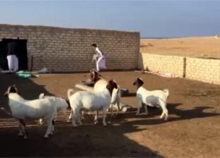 الماعز البور