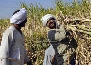 """رئيس السكر والصناعات التكاملية: استنباط سلالات جديدة من """"القصب"""""""