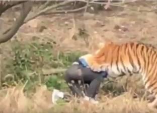 بالفيديو| نمور يفترسون رجلا في حديقة حيوان صينية