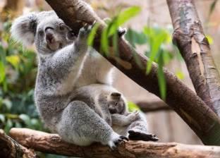 """بالصور  دب الكوالا """"الكسلان"""".. ينام 20 ساعة والأشجار تبقيه حيا"""