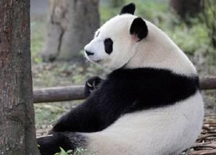 توقيع العقد قريبا.. اليابان ترغب في استئجار حيوان الباندا من الصين