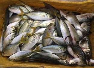 استقرار أسعار الأسماك اليوم.. والبلطي يسجل 23 جنيها للكيلوجرام