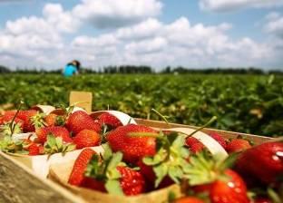 فوائد جديدة لا تعرفها عن الفراولة.. منقذ جهازك الهضمي بعد العيد