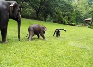 بالفيديو| فيل صغير يقلد البشر في التزحلق على العشب الرطب