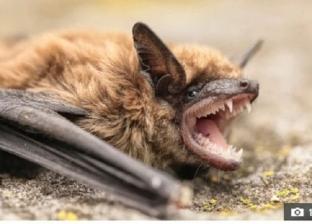 بعد فيروس كورونا.. الخفافيش مسئولة عن أخطر الأوبئة في العالم