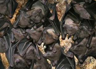 الأقرب لـ كورونا.. اكتشاف فيروس تاجي جديد في الخفافيش