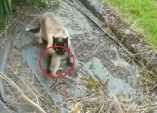 بالفيديو| أرنب يهرب من أنياب قطة ليقع بين مخالب بومة