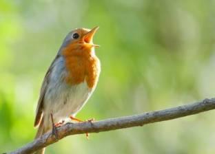 """""""نحب نتعرف"""".. لماذا تغرد العصافير في الصباح الباكر؟"""