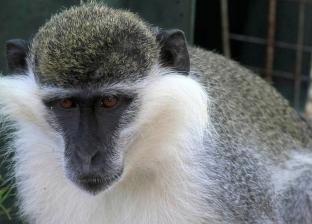 خبراء يحذرون من «جدري القرود».. وباء جديد قد يصيب البشرية
