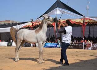 الخدمات البيطرية تصدر دليل إجراءات تصدير الخيول إلى الخارج
