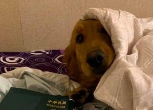إصابة كلب بالفيروس.. أول حالة كورونا تنتقل من إنسان إلى حيوان
