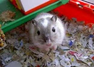 مات شاب في البساتين ذعرا منها.. أنواع الفئران المنزلية الأليفة