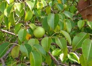 تقتلك بمجرد الوقوف أسفلها.. «تفاح الموت» أخطر شجرة في العالم