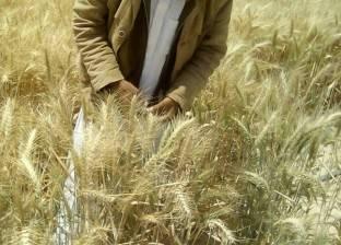 تباين ردود فعل المزارعين حول سعر توريد «القمح» للموسم الحالى