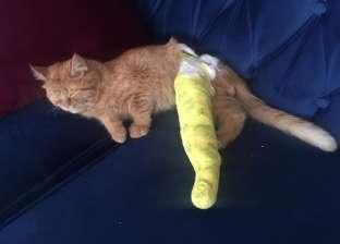 راحة وفراخ.. علاج «قط» سقط في المنور بالتجمع: يحتاج جراحة بـ3000 جنيه