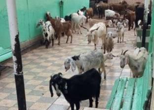 """""""تعليم القليوبية"""": عامل بمدرسة أدخل أبقار وجاموس الفناء لأكل الحشائش"""