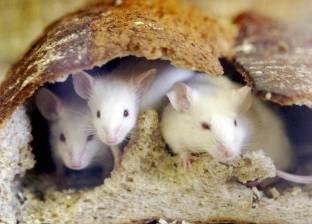 دراسة: هذا السبب يجعل الفئران تغير أشكالها وتهاجر