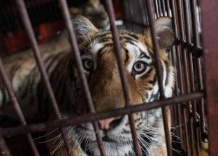 نمر يقتل عاملا و10 حيوانات في المدينة المنورة