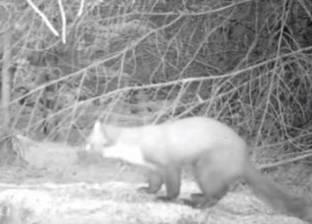 بالفيديو| حيوان نادر اختفى منذ 35 عاما يظهر في بريطانيا