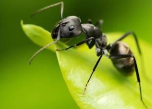 """يغيرها بشكل كامل.. اكتشاف فيروس يحول النمل إلى """"زومبي"""""""