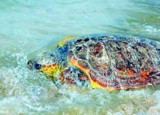 المحميات تطلق سلحفاة مطروح المهددة بالانقراض عالمياً