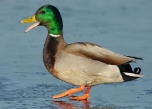 """""""لقحوا البط فورا"""".. علماء صينيون يكتشفون نسخة جديدة من إنفلونزا الطيور"""