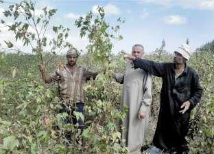 """وكيل """"زراعة الغربية"""": خطة لمكافحة آفات القطن"""