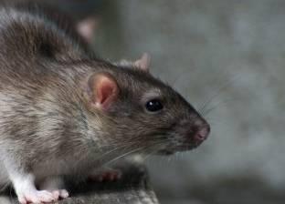 في الأرجنتين.. فئران تتسب في إقالة 8 ضباط شرطة