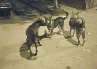 """""""جمرك الإسكندرية"""" يتخلص من 35 كلب ضال بشوارع الحي"""