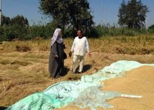 حصاد 99.5% من محصول الأرز بالدقهلية