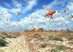 حملات مكثفة للقضاء على سرب للجراد يجتاح جنوب البحر الأحمر