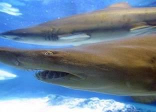 «القرش» تمنع السباحة والغطس بشواطئ «مرسى علم» أسبوعاً