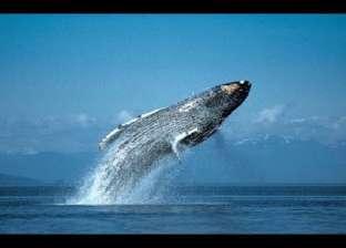 """لسانه بوزن """"فيل"""".. حقائق عن """"الحوت الأزرق"""" أضخم كائن حي على الأرض"""