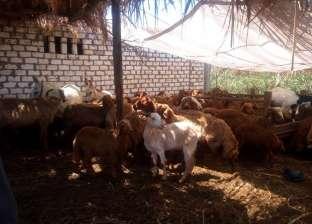 """""""بيطري كفر الشيخ"""": تحصين 121 رأس ماشية ضد """"الجلد العقدي"""""""