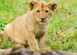 """رئيس """"حديقة الحيوان"""" يطالب بإبلاغ الشرطة عن مواطن يعرض أسدا للبيع"""