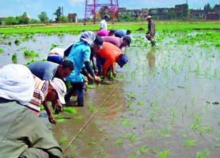زراعة 911 فدانا من محصول الأرز في كفرالشيخ