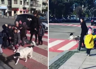 يوميا.. كلب يوقف المرور ليساعد الأطفال على عبور الشارع بأمان