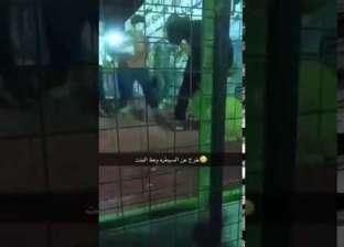 بالفيديو  أسد يهاجم طفلة بمهرجان سعودي.. شاهد رد فعل المسؤولين