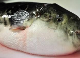 تكاثر سمكة الأرنب السامة في تونس