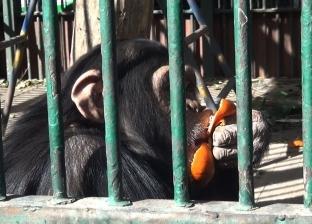 فيديو| رئيس حديقة الحيوان: «مش كتير على الشمبانزي كوباية الشاي بلبن»