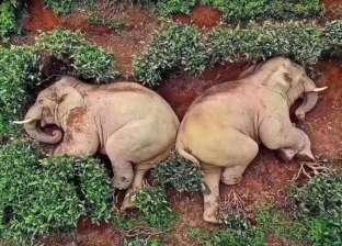 في الصين كورونا منع خروج المواطنين.. فخرجت الأفيال لتسكر