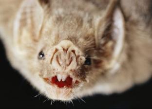 """اكتشاف """"فيروس"""" مميت داخل أجسام الخفافيش الصغيرة"""