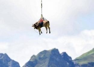نقل بقرة بطائرة هليكوبتر في سويسرا: ماكنتش عارفة تمشي