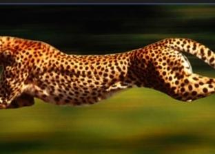 """في يومه العالمي..""""الشيتا"""" أسرع حيوان على كوكب الأرض"""
